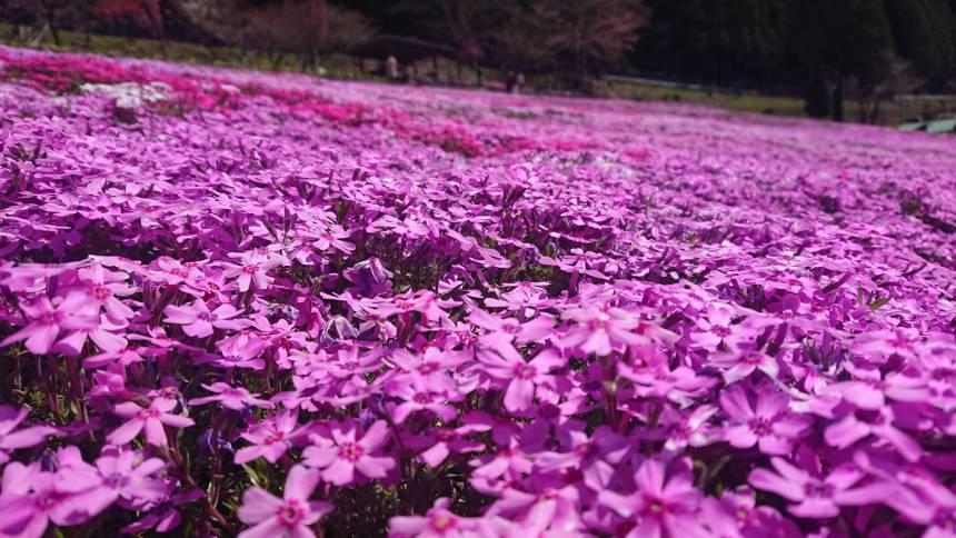 國田家の芝桜🌸